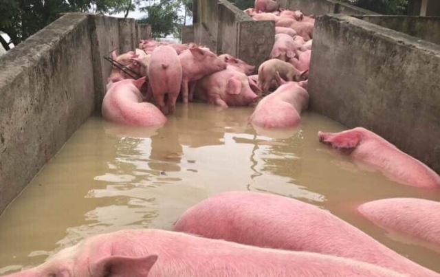 cứu hộ những con lợn trong mưa lũ, cứu với số lợn còn lại trong số 6000 con lợn