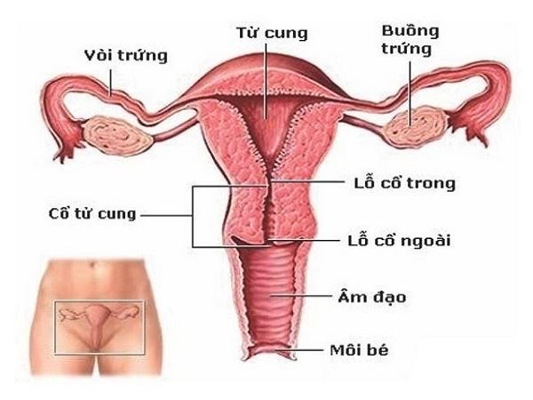 Niêm mạc tử cung dày bao nhiêu là bình thường?