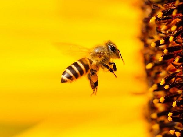 Nằm mơ thấy con ong là điềm gì? Đánh lô đề con nào?