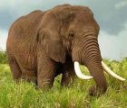 Mơ thấy voi là điềm báo lành hay dữ?