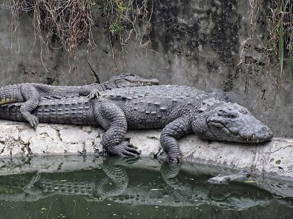 Nằm mơ thấy cá sấu là điềm báo gì, lành hay dữ? Con số liên quan