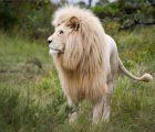 Mơ thấy sư tử đánh số nào? Mộng thấy sư tử hung hay cát